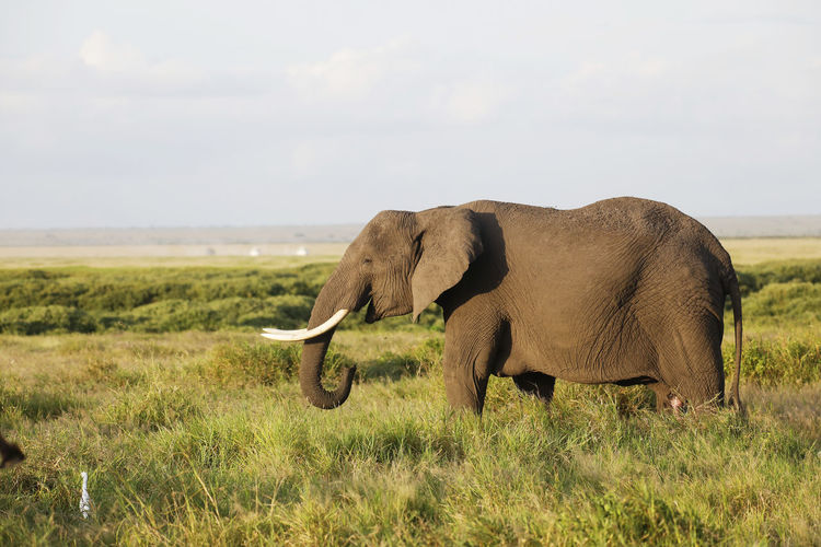Side view of elephant in the field