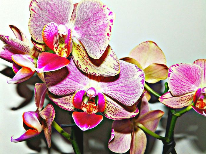TheVille Streamzoofamily Malephotographerofthemonth Hdr_Collection HRD_pics Flowers Orchids Marcoclique Macro_collection