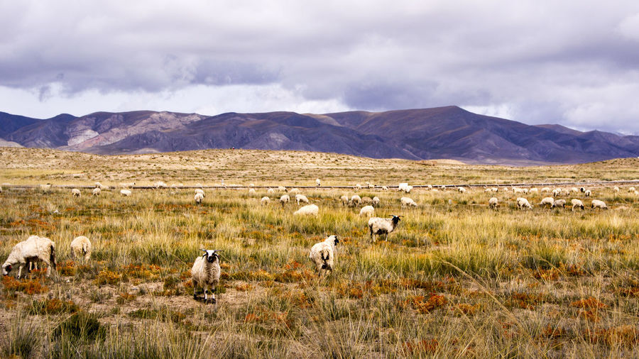 Sheep Grazing On Field By Mountains Against Cloudy Sky