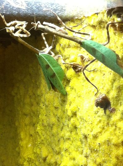Animal Themes Animals In The Wild Close-up Cocoon Day Green Color Hanging Indoors  Insect Leaf Nature No People