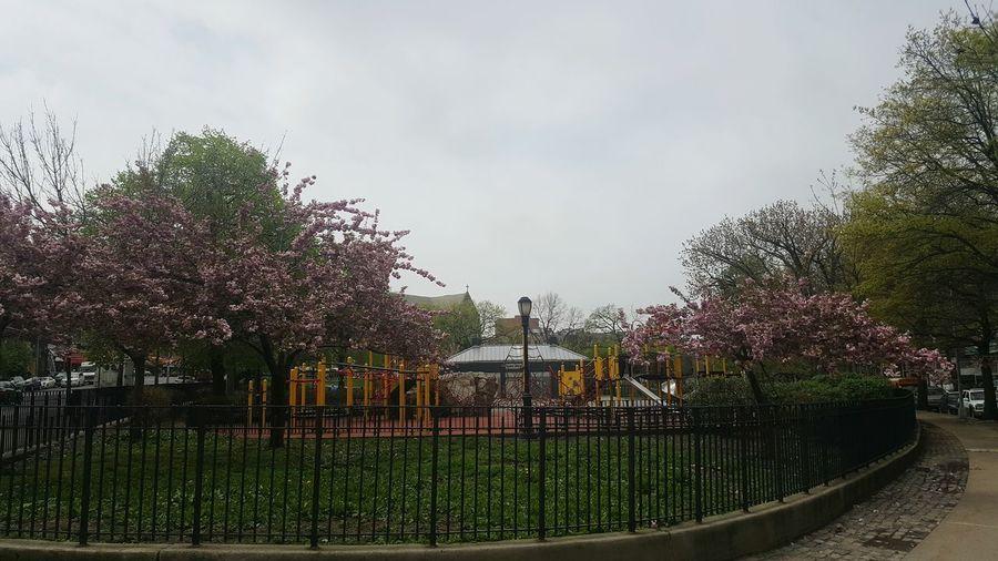 Devoe Park The Bronx, NY Cherry Blossoms