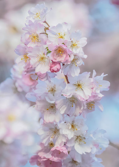 Flower Beauty Tree In Bloom Daydreaming Springtime Blossom Hope Promise Cherry Blossom Cherry Tree Soft Delicate Tender Branch EyeEm Nature Lover Abundance Pink Color Backgrounds Defocused Flowering Plant Flower Head Natural Parkland Près De Gry