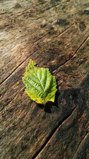 Green Color Leaf Freshness Close-up Fragility Plant Mittagslicht Midday Sunlight Holz Structure Struktur Holzstruktur Light And Shadow Licht Und Schatten Low Angle View Herbstfärbung Kleines Blatt Nature Farbenpracht Natur