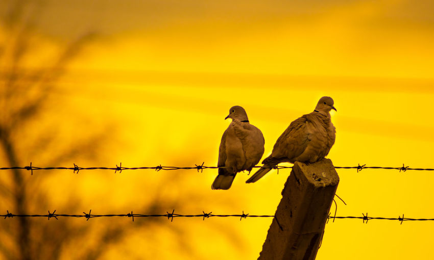 Low angle view of doves perching on fence against orange sky during sunset