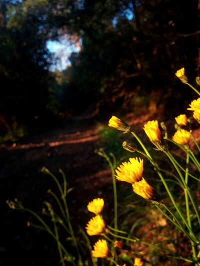 Flower Yellow Flower Plant Nature Beauty In Nature EyeEmNewHere EyeEm Nature Lover Tree Spring Flowers Diente De León EyeEm Flower Yellow Flowers Dandelion Flowers Dandelion Collection