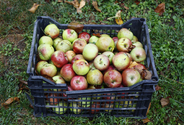 Apples in the basket on the ground EyeEm Gallery EyeEm Selects Product Popular Photos Popular Freshness Abundance Apple - Fruit Apples Basket Bulgaria Eating Healthy Food Food And Drink Food Photography Fresh Food Freshness Fruit Fruits Garden Healthy Eating High Angle View Large Group Of Objects Nature No People Organic Organic Food Outdoors Popular Vegan Food The Still Life Photographer - 2018 EyeEm Awards