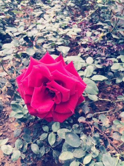 La rose. The Rose La Rosa Flowers