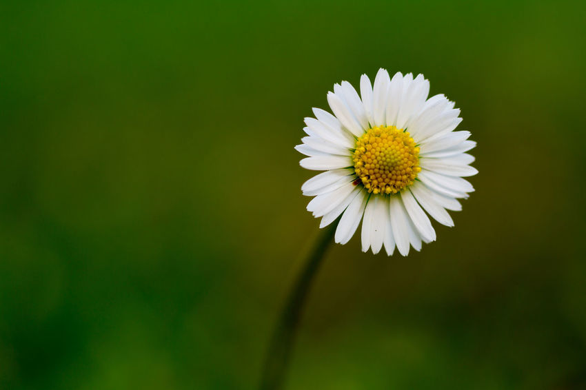 Daisy in the garden Beauty In Nature Blooming Close-up Daisy Day Flower Flower Head Flowers Fragility Freshness Garden Growth Macro Nature No People Outdoors Petal Plant Pollen Springtime White Color