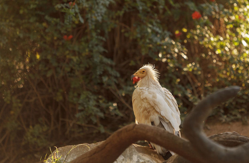 Egyptian vulture, Neophron percnopterus, is also known as the pharaoh's chicken and the white scavenger vulture. This bird is a carnivore found in dry climates. Animal Themes Animals In The Wild Beak Bird Bird Of Prey Day Domestic Animals Egyptian Vulture Focus On Foreground Full Length Green Color Nature Neophron Percnopterus Non-urban Scene One Animal Perching Tranquility Vulture Wildlife Zoology