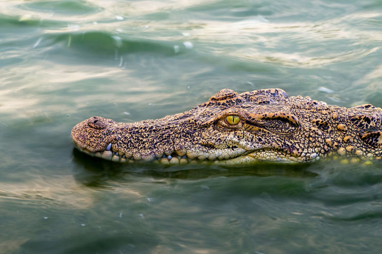 Wildlife crocodile floating on water and wait to hunt an animal in river. animal wildlife concept.