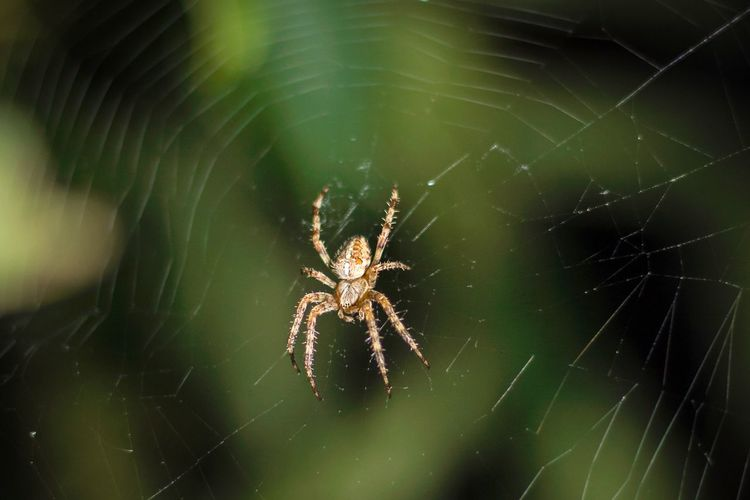 Spider Web Spider Insect Spinning Arachnid Nature Web Spinne Spinnennetz Detail Phobie Grün Focus Object