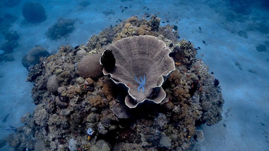 Blue starfish resting on a coral at pagkilatan