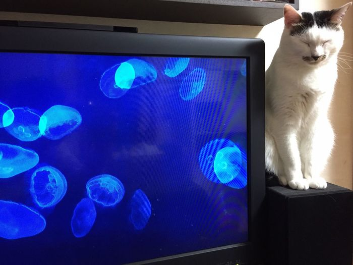 With TV. Cat Jellyfish Tv