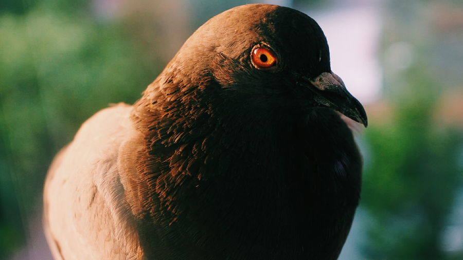 Bird Macro Animal Pigeon Eye Red SonyAlpha6000