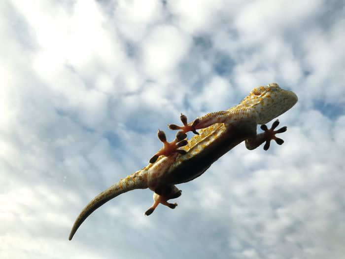 gecko Front