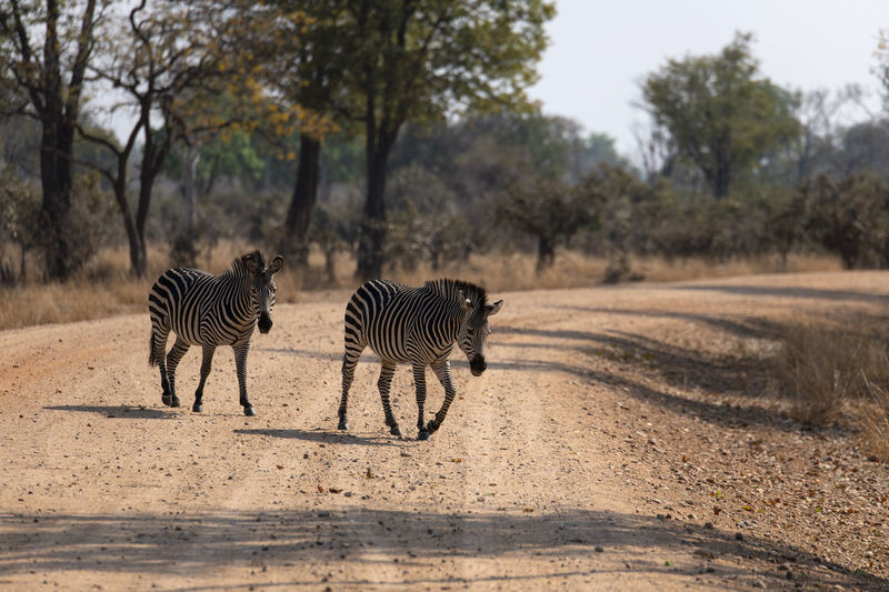 View of zebra on the road