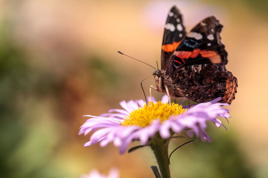 Red admiral butterfly, Vanessa atalanta, in a butterfly garden on a flower in spring in Southern California, USA Animal Themes Animals In The Wild Beauty In Nature Butterfly Close-up Day Flower Garden Insect Nature No People One Animal Outdoors Red Admiral Butterfly Vanessa Atalanta Wings