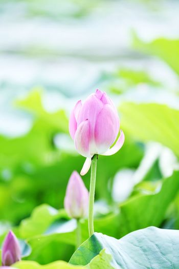 Freshness Flower Plant Flowering Plant Fragility Vulnerability  Beauty In Nature Close-up Petal Pink Color Focus On Foreground Nature No People Flower Head Inflorescence Growth Plant Stem Day Leaf Plant Part