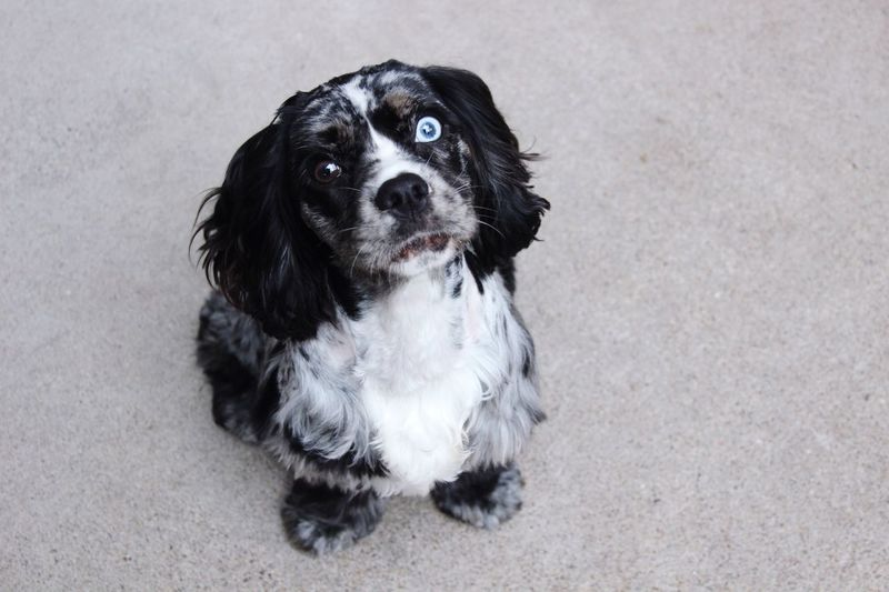 Dog Pets Domestic Animals One Animal Looking At Camera Animal Themes Portrait High Angle View Sitting Black Color No People Day Outdoors Cocker Spaniel  Heterochromia Heterochromia Dog