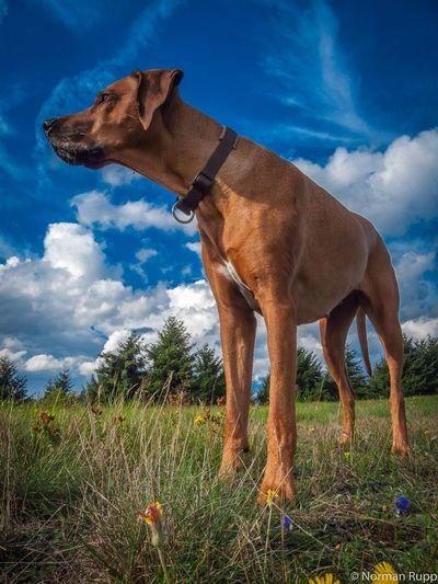 Dog Animal Rhodesian Ridgeback Mydog Mydog♡ Germany Sky Blue Blue Sky Hohenahr Normanrupp