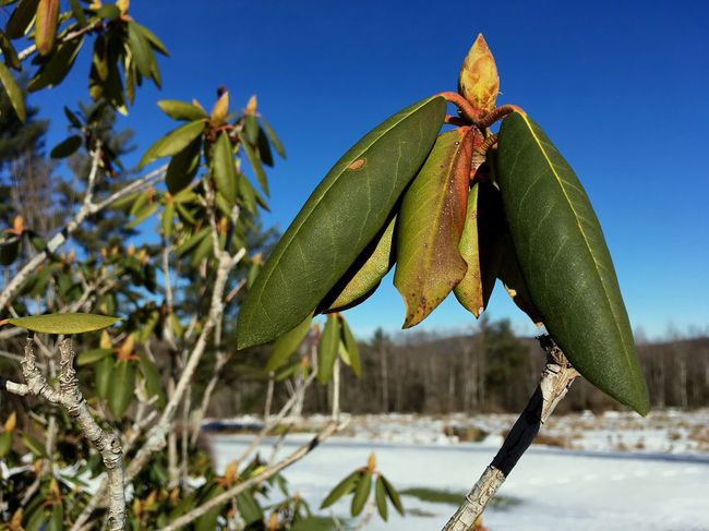 Blue Sky Sky Rhododendron Nature Growth Leaf Day No People Outdoors Close-up Freshness Winter Stem Foliage Plant Dormant Buds Life EyeEm Nature Lover Greenery Shrubbery
