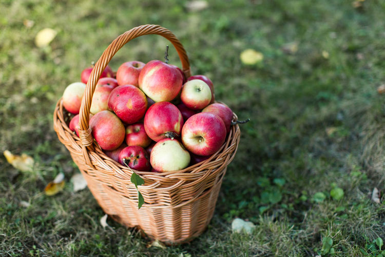 Basket full of shiny apples in garden