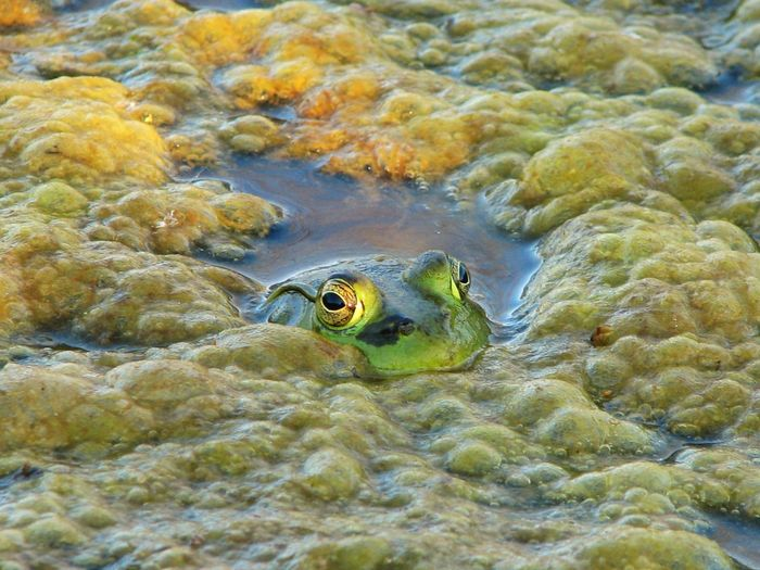 Frog in Pond Eyes Peekaboo Pond UnderSea Water Sea Life Underwater Sea Reptile Swimming Close-up Amphibian Frog