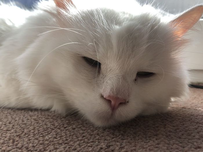Domestic Pets Cat Domestic Animals Animal Domestic Cat Mammal One Animal Animal Themes Feline Vertebrate Close-up White Color Whisker Relaxation No People Animal Body Part Indoors  Home Interior Resting Animal Head