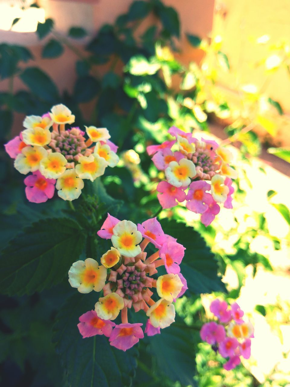 flower, beauty in nature, nature, fragility, growth, petal, lantana camara, plant, flower head, no people, freshness, day, outdoors, close-up, blooming