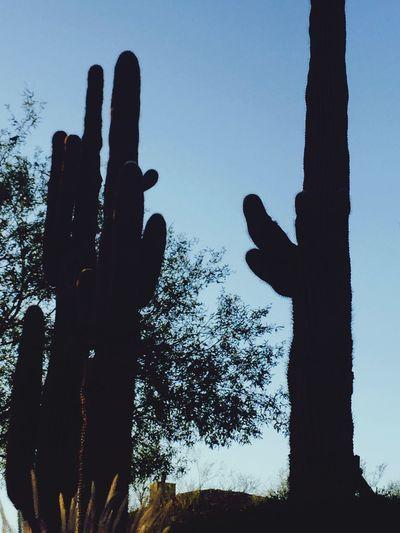 Saguaro cactus Cactus