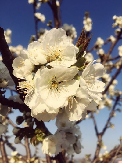 White blossoms on tree in spring Fragility Flower Plant Flowering Plant Vulnerability  Beauty In Nature Growth Close-up Freshness Blossom Inflorescence Springtime Petal Nature Focus On Foreground Pollen Flower Head No People White Color Tree