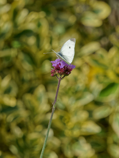 Close-up of butterfly pollinating on pink flowering plant