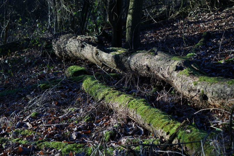 9417 Close-up Day Dead Leaves Deforestation Environment Environmental Issues Forest Grass Growth Log Moss Nature No People Outdoors Scenics Sunlight Sunlight And Shadow Sunlight ☀ Timber Tranquil Scene Tranquility Tree Tree Trunk Woods