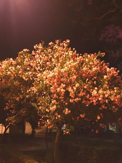Blossom Tree Beauty In Nature Outdoors Night Montijo My Tour Of Portugal