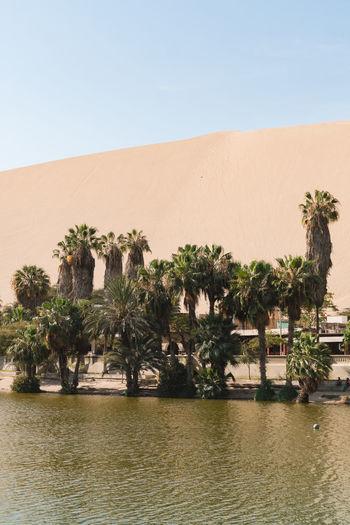 Palm Trees On Desert Against Clear Sky