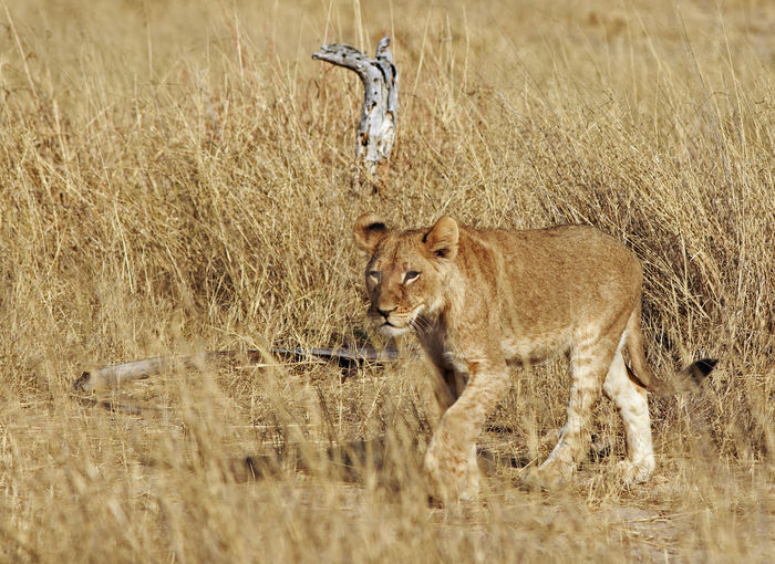Safari Safari Animals Nature No People Outdoors Hwange National Park Animals In The Wild Natural Beauty Nature Wildlife Photography Animal Themes Feline Mammal Animal Animal Wildlife Lion - Feline Day Cat Lioness Big Cat Big Five One Animal Wilderness Lion Adolescent,