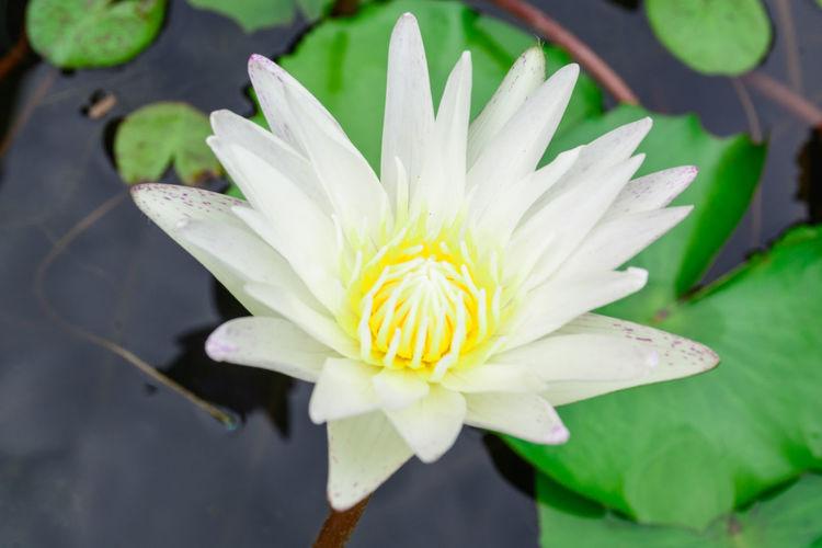 White lotus, as