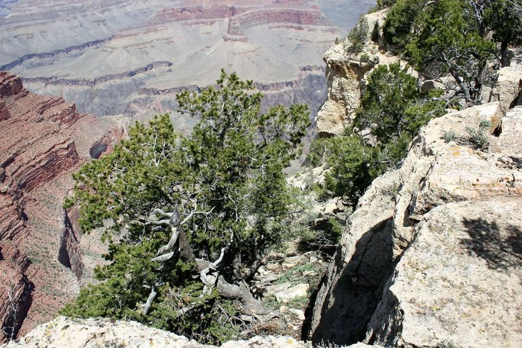 Grand Canyon Vegetation Grand Canyon Grand Canyon National Park Grand Canyon Vegetation Grand Canyon, South Rim Arizona Flora Arizona Vegetation Day Nature No People Outdoors Rock - Object Rock Formation Tree Trees And Bushes Trees And Nature Trees On Rock Vegetation