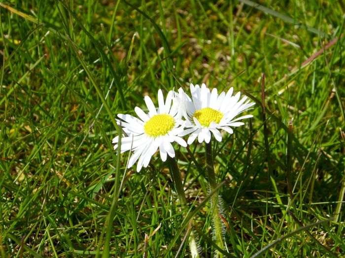 Flower White Color Growth Nature Fragility Beauty In Nature Grass Freshness Flower Head Field Daisy Outdoors No People White Blooming Green Color Plant Day Close-up Daisy EyeEmBestPics Eye4photography  EyeEm Best Shots Eyeem Market Natural Beauty