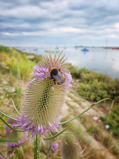 109/365. Norfolk Uk Wells-next-the-Sea Beauty In Nature Bee Close-up Flower Flower Head Flowering Plant Focus On Foreground Fragility Growth Inflorescence Outdoors Plant Pollination Thistle Vulnerability