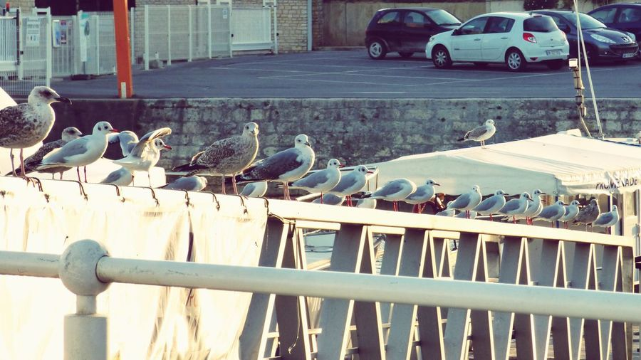 Bird Animals In The Wild Animal Wildlife Large Group Of Animals Perching Day Outdoors Car Seagull Nature