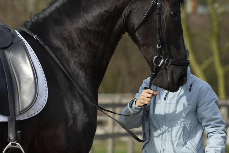 Detail of the special dressage breed friesian horse in black shiny fur held by unrecognizable person