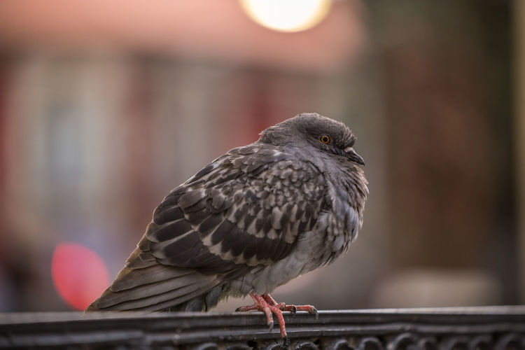 Sitting pigeon Cochabamba Nature Urban Exploration Wing Animal Themes Animal Wildlife Animals In The Wild Bird Birds Bokeh Close-up Day Focus On Foreground Nature No People One Animal Outdoors Perching Pigeon Pigeon Bird  Pigeons Plaza Railing South America Urban