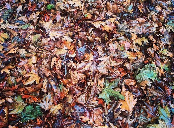 Fall Autumn Leaves Falltime Season  Seasons Instafall Instagood Instaautumn Photooftheday Leaf Foliage Colorful Orange Red Autumnweather Fallweather Nature