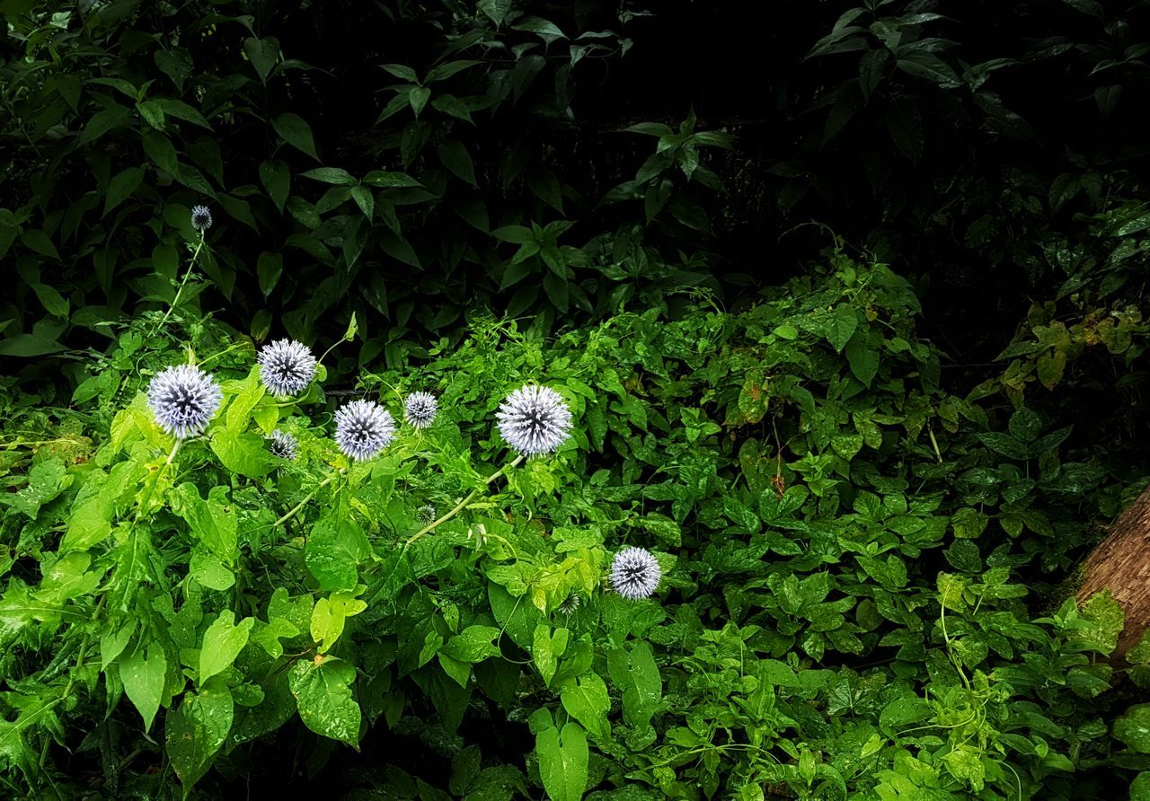 nature, plant, growth, green color, leaf, flower, outdoors, high angle view, no people, fragility, beauty in nature, day, freshness, flower head, animal themes, close-up
