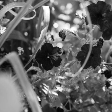 Flowers in black and white Beautiful Baw Beauty In Nature Black And White Blackandwhite Blooming Close-up Day Flower Flower Head Flowering Plant Focus On Foreground Fragility Growth Inflorescence Leaf Nature No People Nocolor Outdoors Petal Plant Plant Part Selective Focus Vulnerability