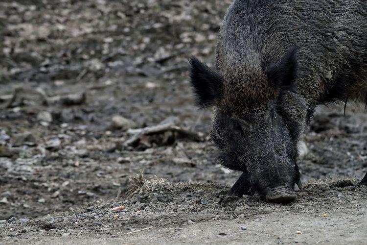Smell Pig