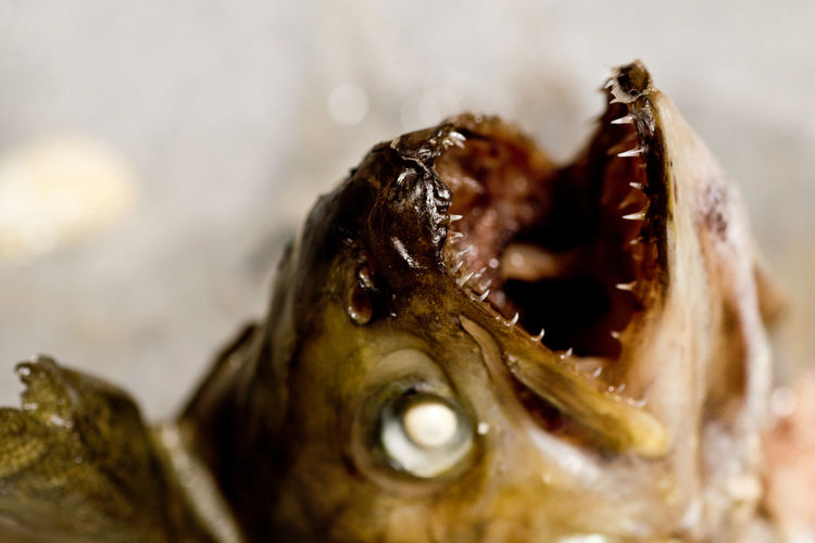 Animal Animal Body Part Animal Head  Animal Themes Close-up Dead Death Detail Fish Fishhead Macro No People Selective Focus