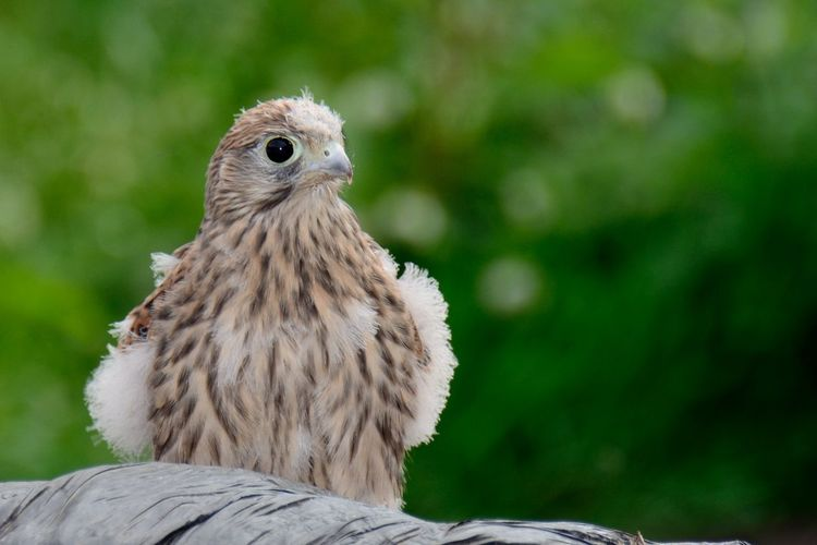 Close-up of a hawk against blurred background