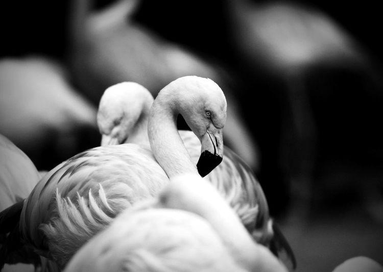 Flamingos at zoo